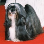 I Need A Cheap Lawyer And, I Got A Lhasa Apso Dog Totally Related
